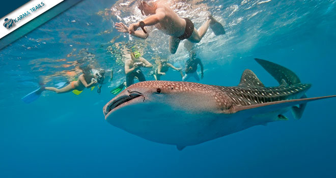 Whale Sharks Swimming Tour