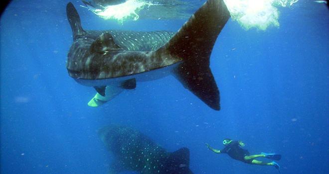 Nuotare con lo Squalo Balena